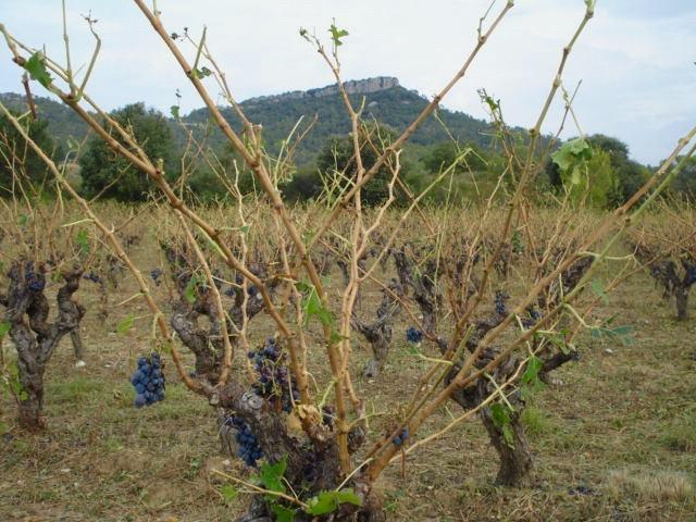 Des vignobles dévastés, des vignerons meurtris