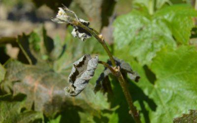 Le gel emporte les espoirs de récolte dans les vignes héraultaises