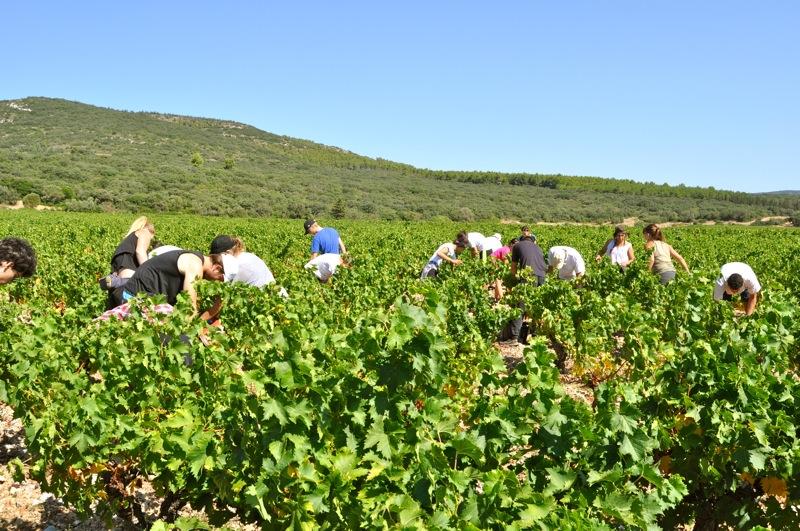 Vendanges en Languedoc et Roussillon: quand l'exception devient la norme