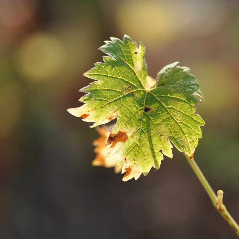 La vigne à la croisée des chemins: quels cépages, demain, en Occitanie?