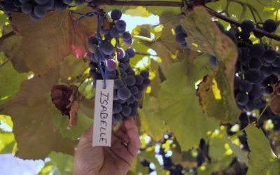 Vitis prohibita, le retour des cépages résistants : les hybrides en liberté